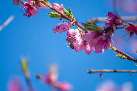 The bee collects nectar from flowering peaches in the spring. Peach flowers against a blue spring sky background. Pink flowers bloom on a branch. 写真素材