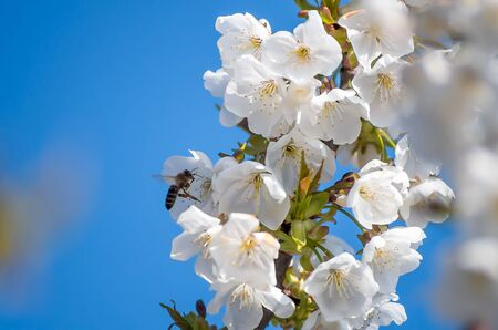 Bee collects nectar from flowering cherries in the spring. Flowers of cherry against the background of blue spring sky. White flowers blooming on branch.