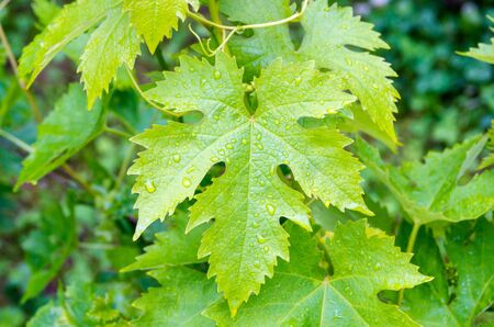 Young green vine leaves with drops of summer rain. Vine leaves close-up. Grape leaves with drops after rain.