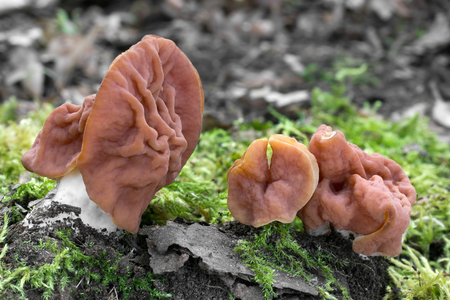 (Discina fastigiata) is a rare and endangered edelweed fungus with an irregularly lobed hat, growing in the spring in warm deciduous forests. Photo in the Czech Republic, Europe.