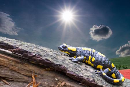 salamandre: Salamandra salamandra est l'amphibien et le représentant européen le plus répandu de la famille Salamander répandue en Asie de l'Ouest, au sud-ouest et surtout en Europe centrale et méridionale, photo République tchèque, Europe