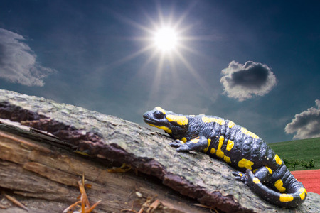 the firmament: Salamandra salamandra is the amphibian and the most widespread European representative of the Salamander family spread in West Asia, southwest and especially in southern and central Europe, photo Czech Republic, Europe