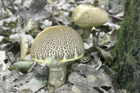 spongy: Leccinellum crocipodiumje rare, only locally more spongy Photo of Czech Republic, Europe