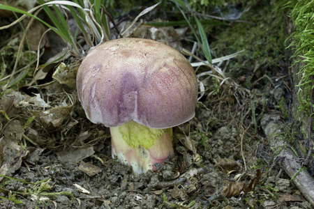 spawn: Butyriboletus fuscorosus is a very rare sponge of the mushroom family. This rose-yellow-colored mushroom grows only in the warm regions of the lowlands and hillsides, Photo of Czech Republic, Europe Stock Photo