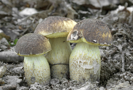 Leccinellum crocidolium is rare, only locally more musk sponge than the family of mushrooms Photo of Czech Republic, Europe Stock Photo