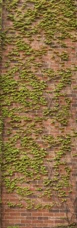 ivy wall: Tall bricks wall with green  ivy