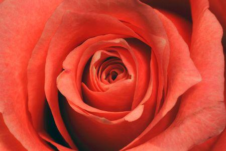 rose , close- up Stock Photo