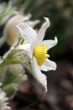 white pasque-flower in the garden Stock Photo