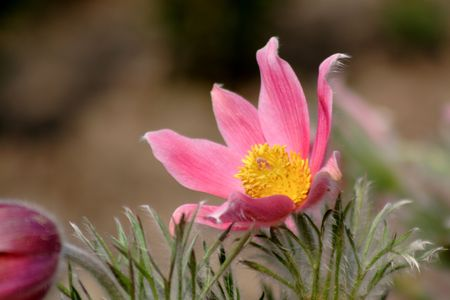 pasqueflower: pink pasque-flower in the garden