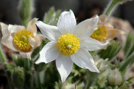 pasqueflower: white pasque-flower in the garden Stock Photo