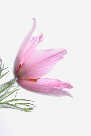 pasque-flower photo