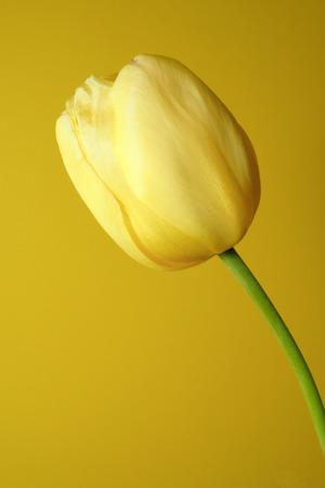 yellow tulip on the yellow background Stock Photo