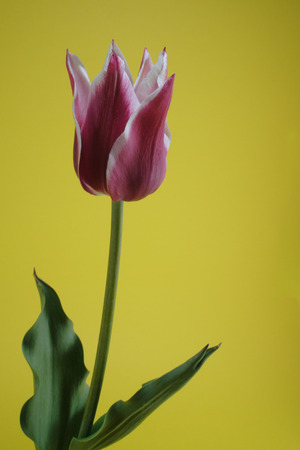 bicolor tulip on the yellow background