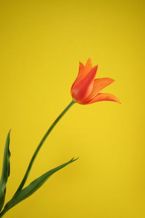 orange tulip on the yellow background Stock Photo