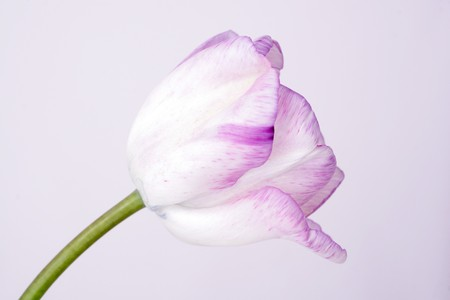 bicolor tulip on the neutral background