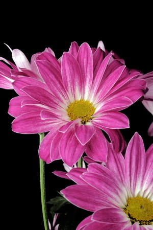 pink daisies on the black background