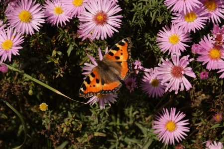 polymorphism: butterfly