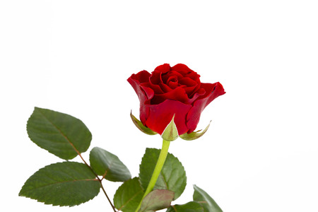 red rose on the white background Stock Photo