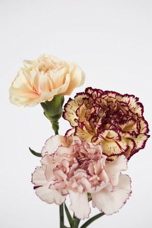 carnation on the white background Stock Photo