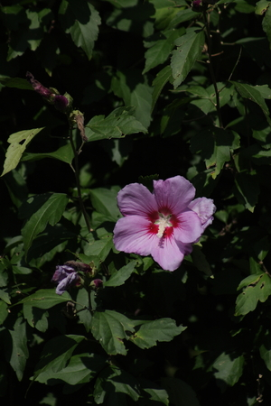 pink hibiscus blooming Stock Photo