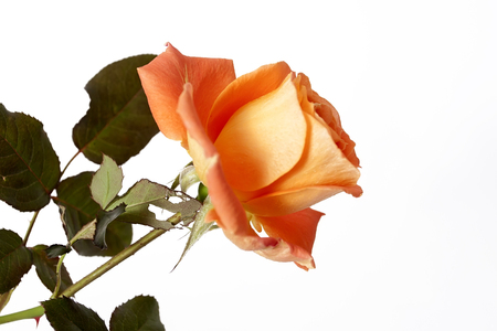 Orange rose on the neutral background