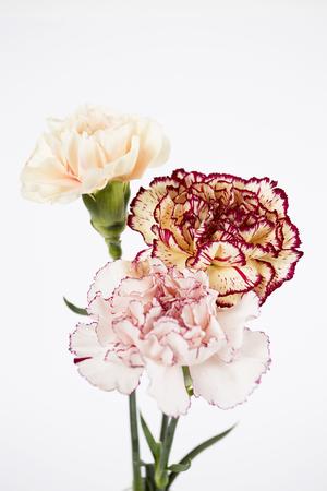 carnation on the white background Stock Photo