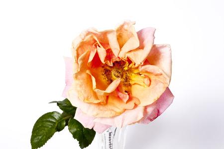orange rose on the white background Stock Photo