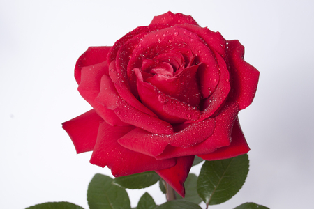 red rose on the neutral background