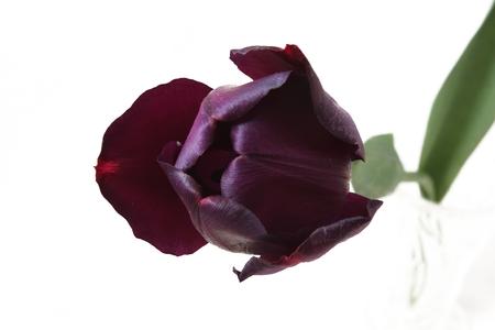 block tulip