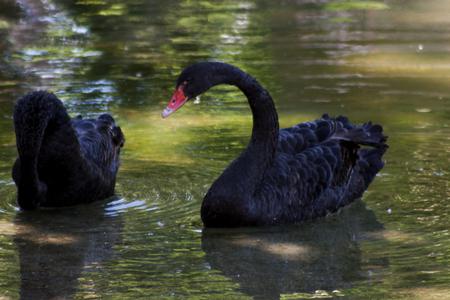 black swan: Black swans