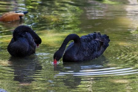 swans: Black swans