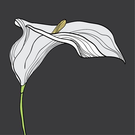 unusual valentine: Calla flower, graphic illustration. Hand drawn design. Illustration