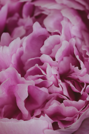 Pink Peony flower. Macro photography. Vintage floral wallpaper. Stock Photo