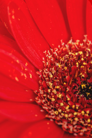 Red Gerbera flower detail. Macro photography.