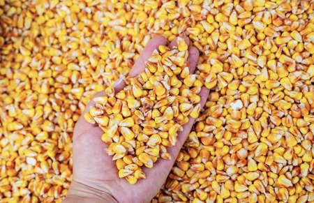 Grains of corn. Harvesting. Selective Focus Nature