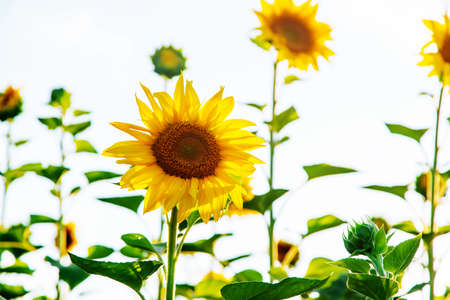 Blooming sunflowers on the field. Selective focus. copy space.
