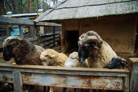 eat sheep at an aviary on a farm. selective focus.animals