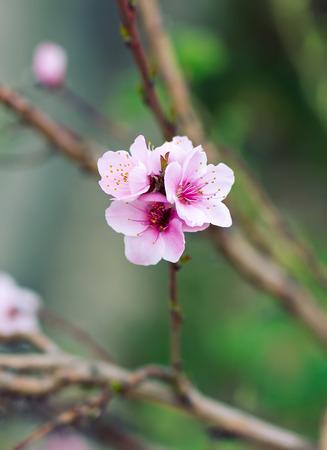fondo azul: Beautiful blossoming branch in spring