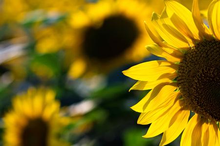 Field of beautiful sunflowers in summer Imagens