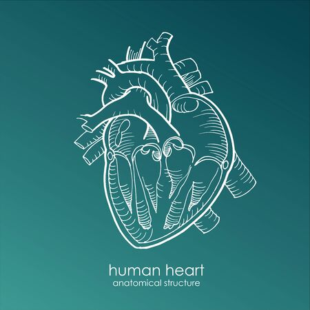 anatomical human heart drawing with white pencil line on blue background