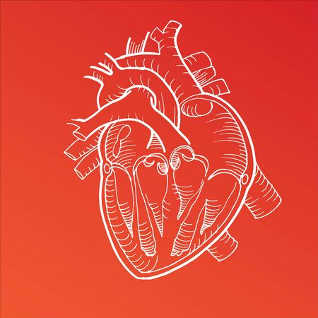 Dibujo anatómico del corazón humano sobre fondo blanco.