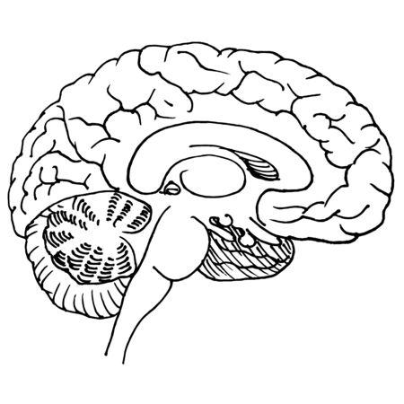 Linear hand drawn illustration of human brain for logotype or banner  design template Illustration
