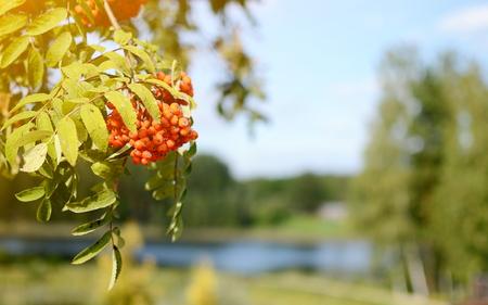 Orange colorful rowan berry on tree in sunlight, blue sky, landscape