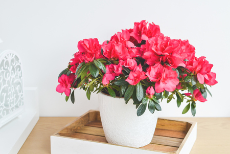 Azalea flowers in a pot. Balcony garden. Interior 免版税图像 - 121635371