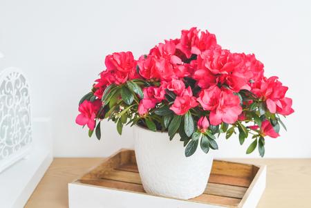 Fleurs d'azalée dans un pot. Jardin balcon. Intérieur
