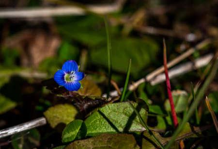 Blue spring speedwell flower, close-up photo of veronica flower Фото со стока