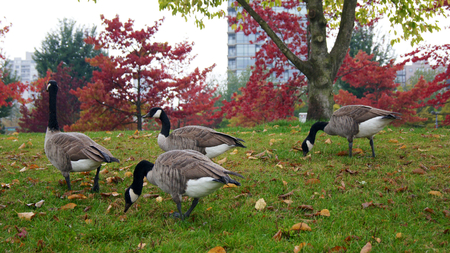 Canadian goose or Branta Canadensis eating green pasture near the pond. Stock Photo