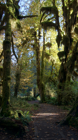 wide wet: Hoh Rain Forest, National Park, WASHINGTON USA - October 2014: The Epic Hall Of Mosses Trail. Trees covered in moss in a temperate. Stock Photo