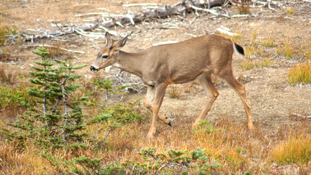 hoofed: Hurricane Ridge, Olympic National Park, WASHINGTON USA - October 2014: A blacktail deer stops to admire the view of the mountains and eating gras Editorial
