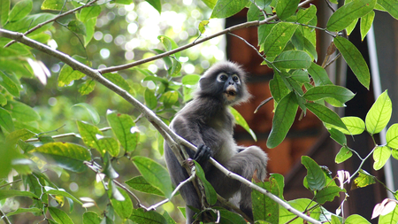 KEDAH, LANGKAWI, MALAYSIA - APR 08th, 2015: An adult dusky leaf monkey or langur is sitting among leaves in a tree in the wild